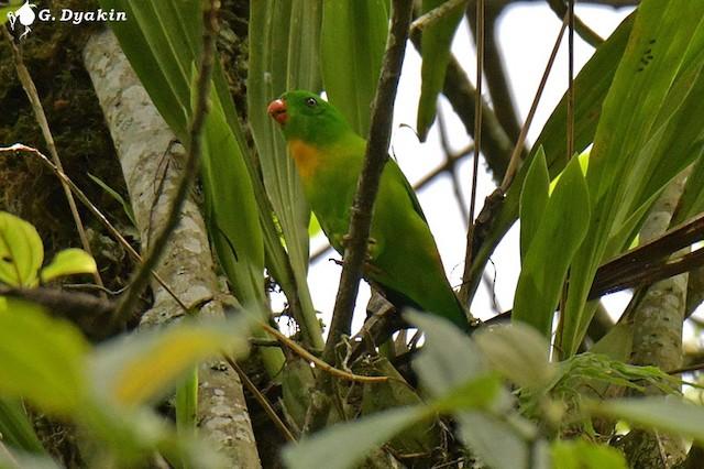 ©Gennadiy Dyakin - Yellow-throated Hanging-Parrot
