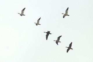 Ross's Goose, ML22378731