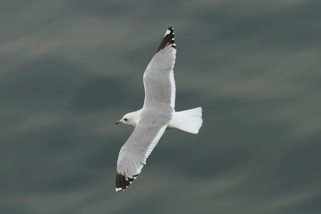 Mew Gull (European)