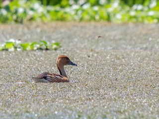 Fulvous Whistling-Duck, ML223940271