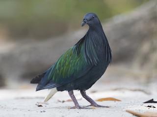 - Nicobar Pigeon