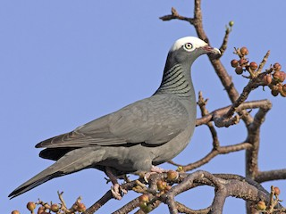 - White-crowned Pigeon