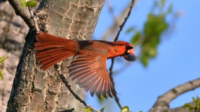 Definitive Basic male Northern Cardinal.