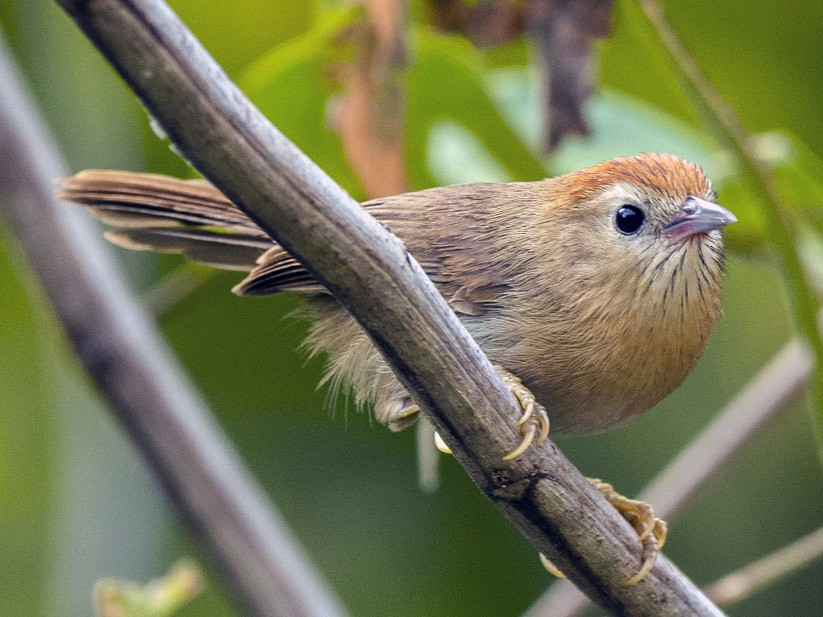 Rufous-fronted Babbler - David Bishop