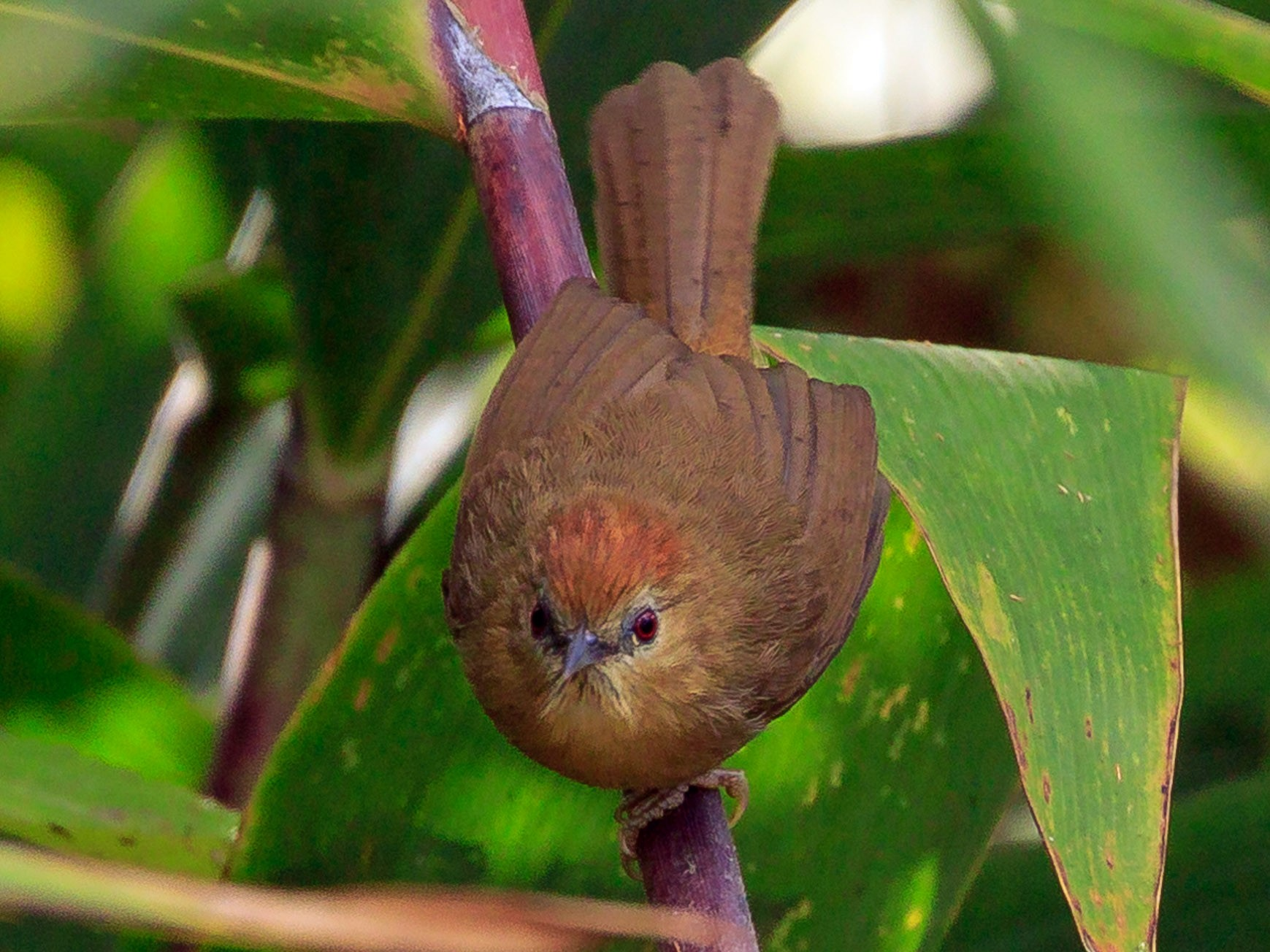 Rufous-fronted Babbler - Melissa Hafting