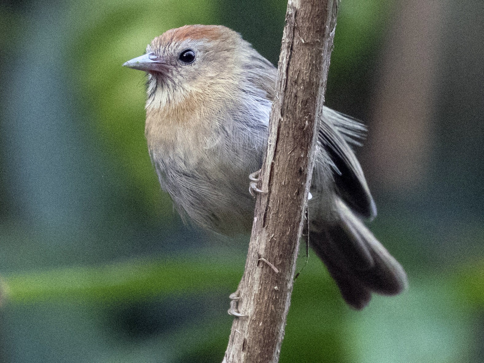 Rufous-fronted Babbler - Bob Lockett