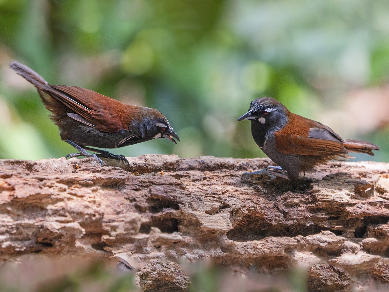 Black-throated Babbler - Lily Chang