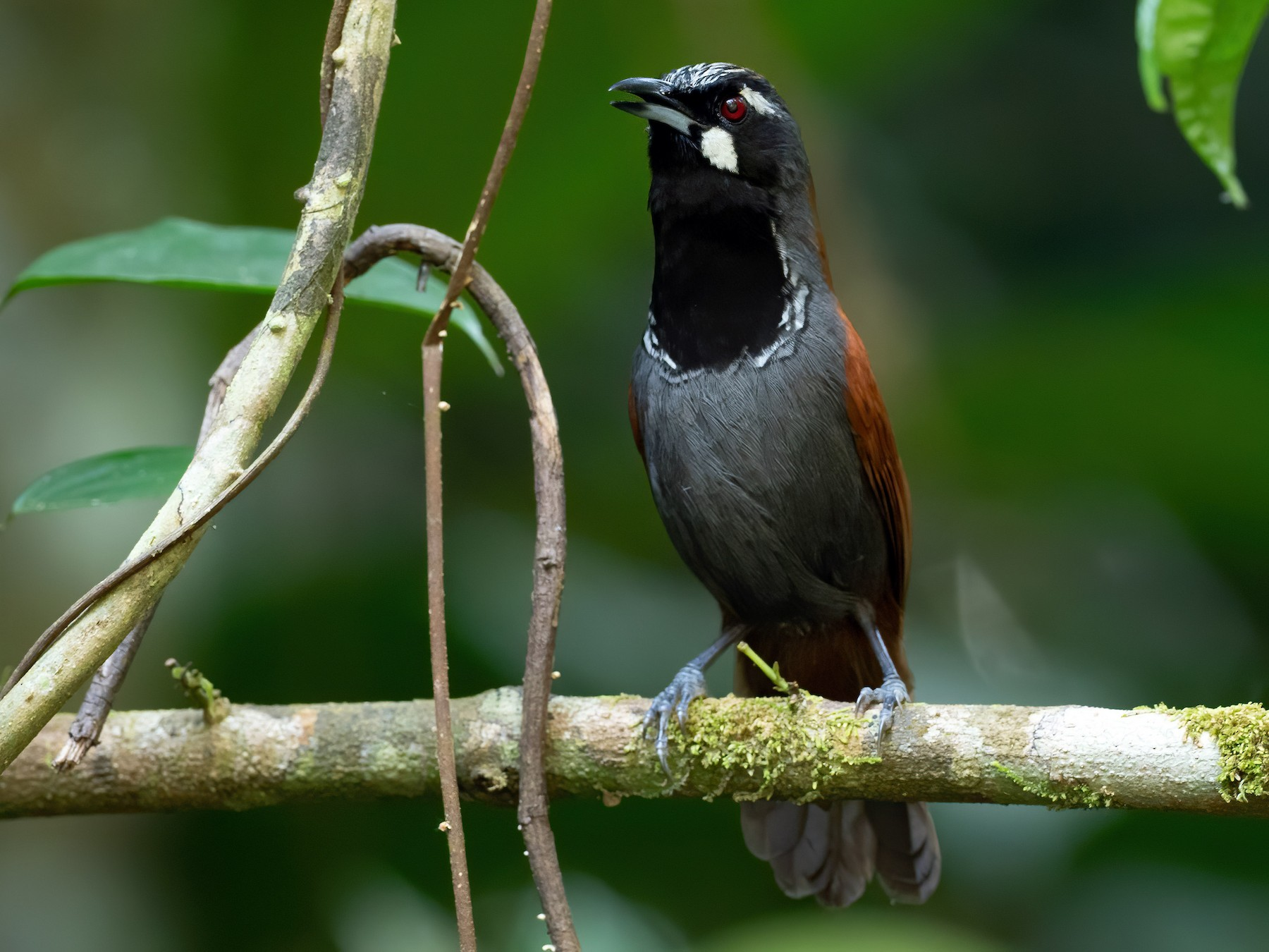 Black-throated Babbler - Phil Chaon