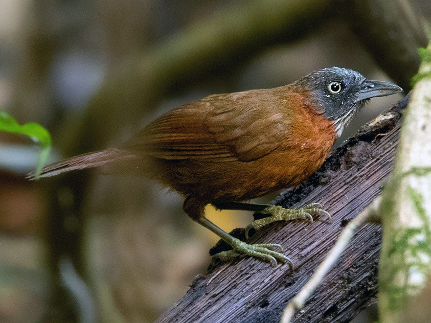 Gray-headed Babbler - Ayuwat Jearwattanakanok