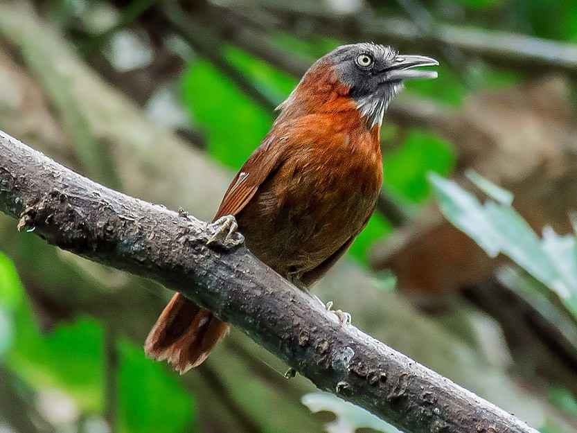 Gray-headed Babbler - Natthaphat Chotjuckdikul