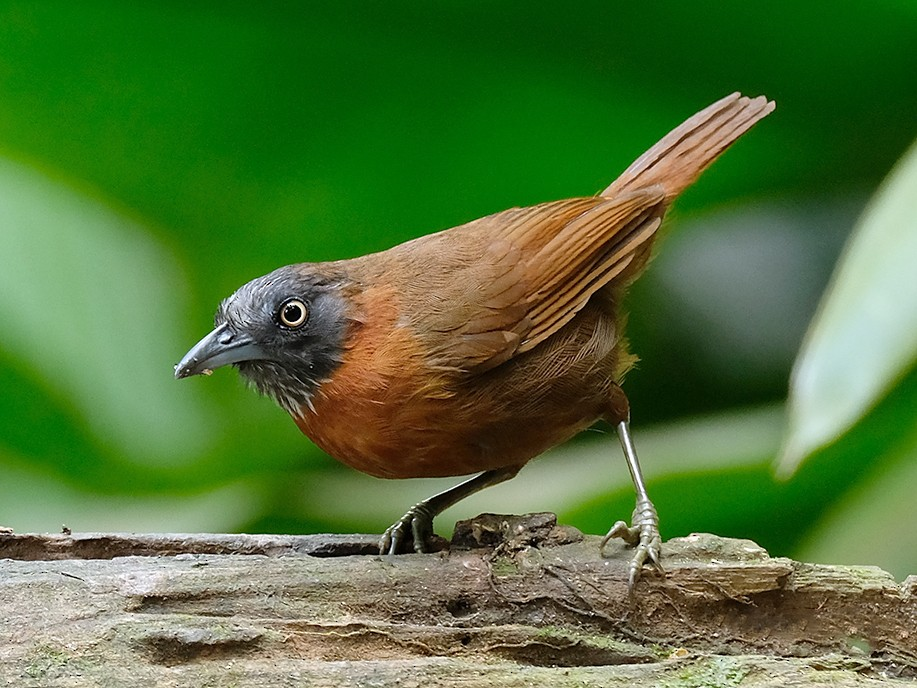 Gray-headed Babbler - lim ying hien