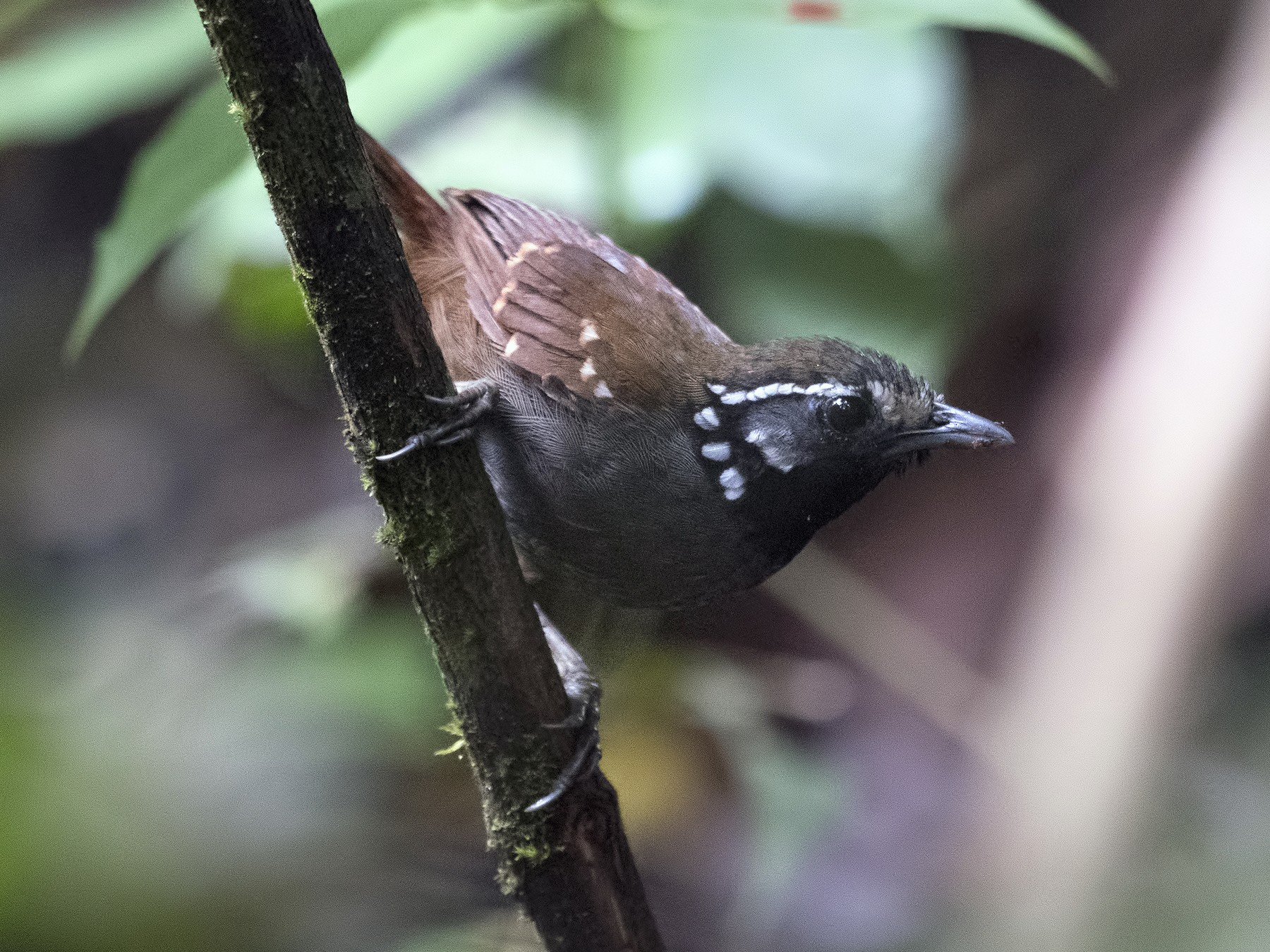 White-necked Babbler - Wai Loon Wong