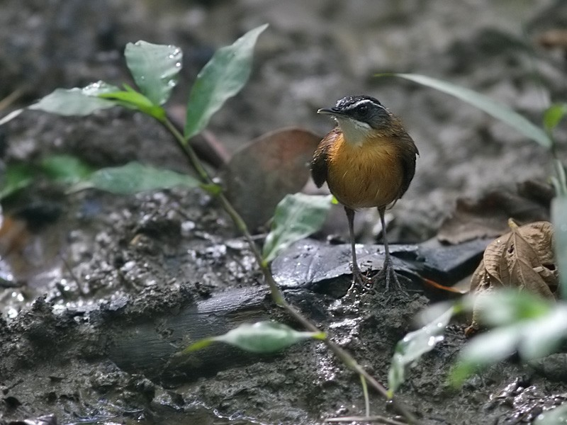 Black-capped Babbler - Peter  Ericsson