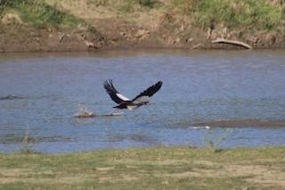 Egyptian Goose, ML224358241