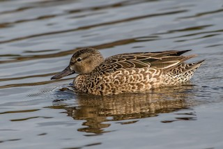 Blue-winged Teal, ML224369081