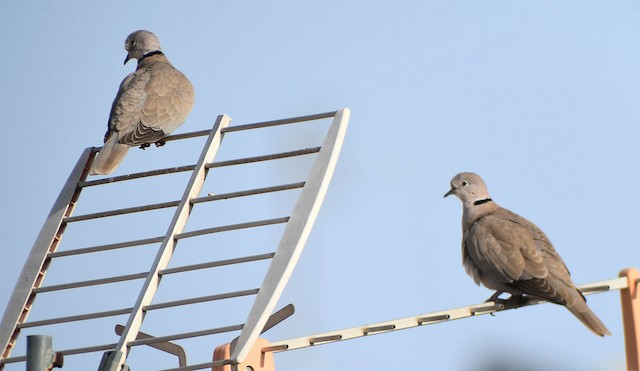 ©Ricard Gutiérrez - Eurasian Collared-Dove