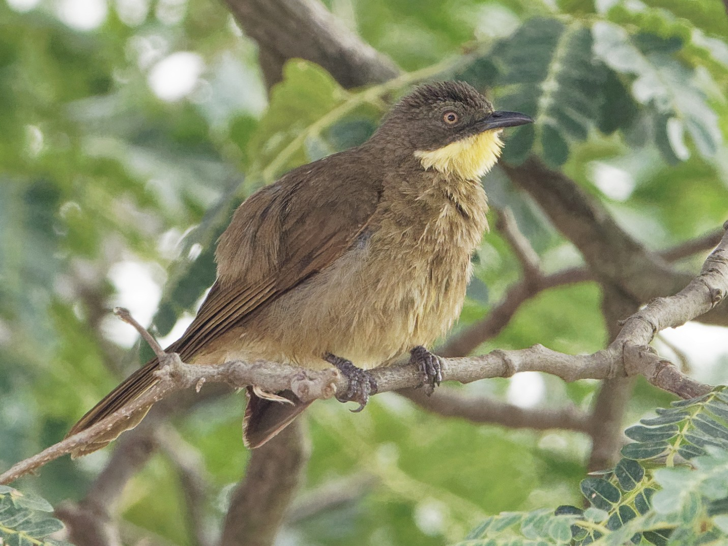Yellow-throated Greenbul - Vincent Wang