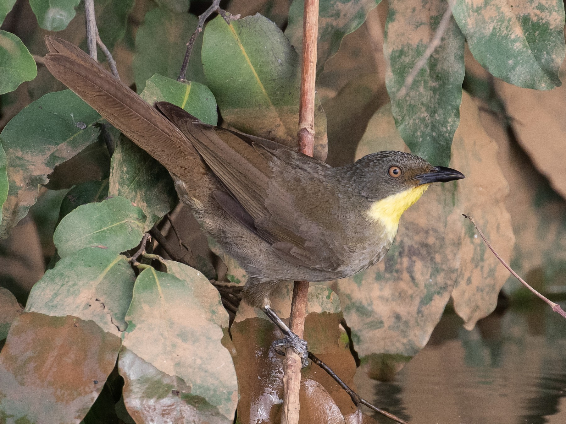 Yellow-throated Greenbul - James Kennerley 🦄