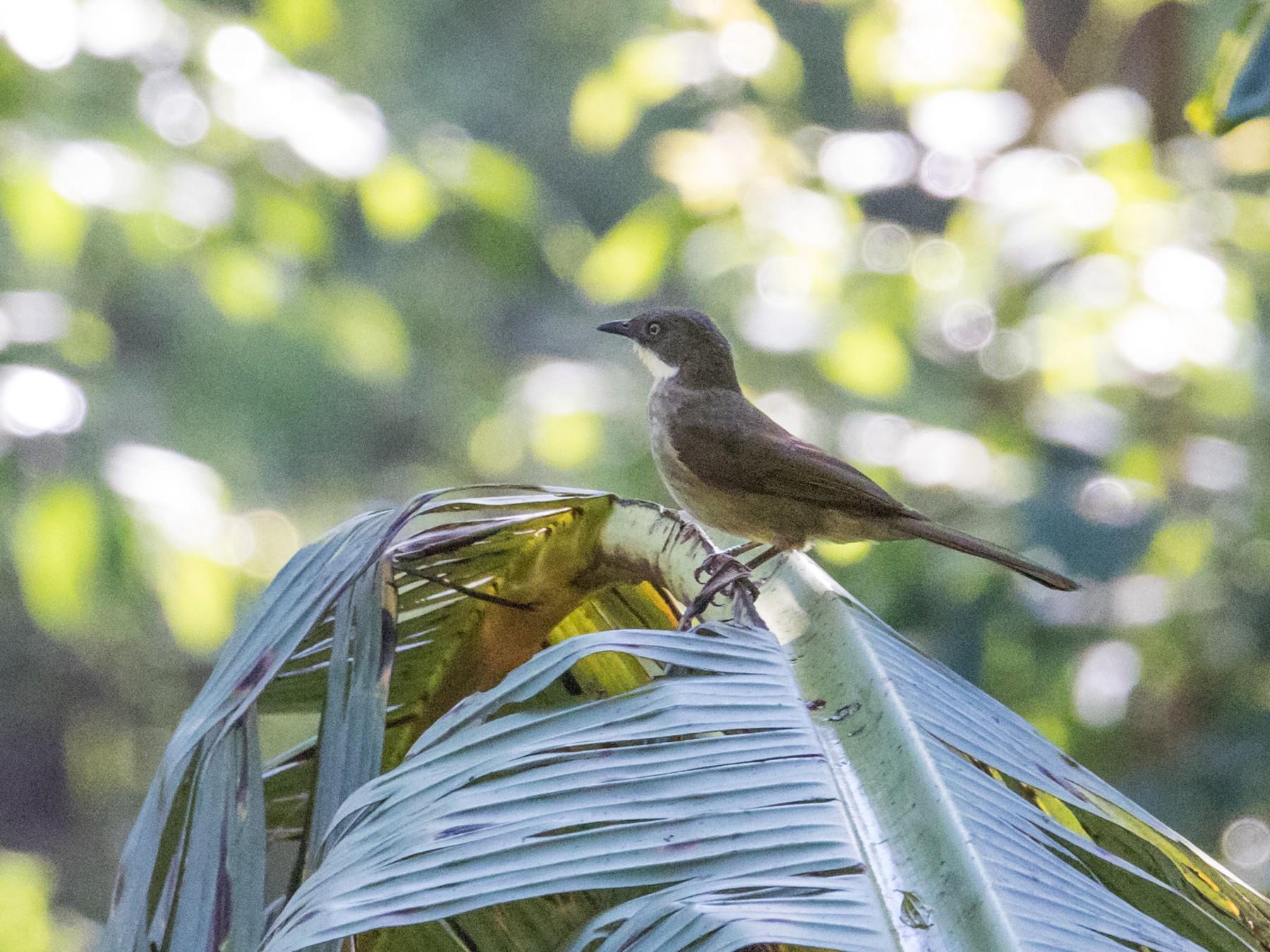 Yellow-throated Greenbul - Peter  Steward