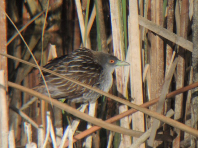 Striped Crake - Diego Peinazo