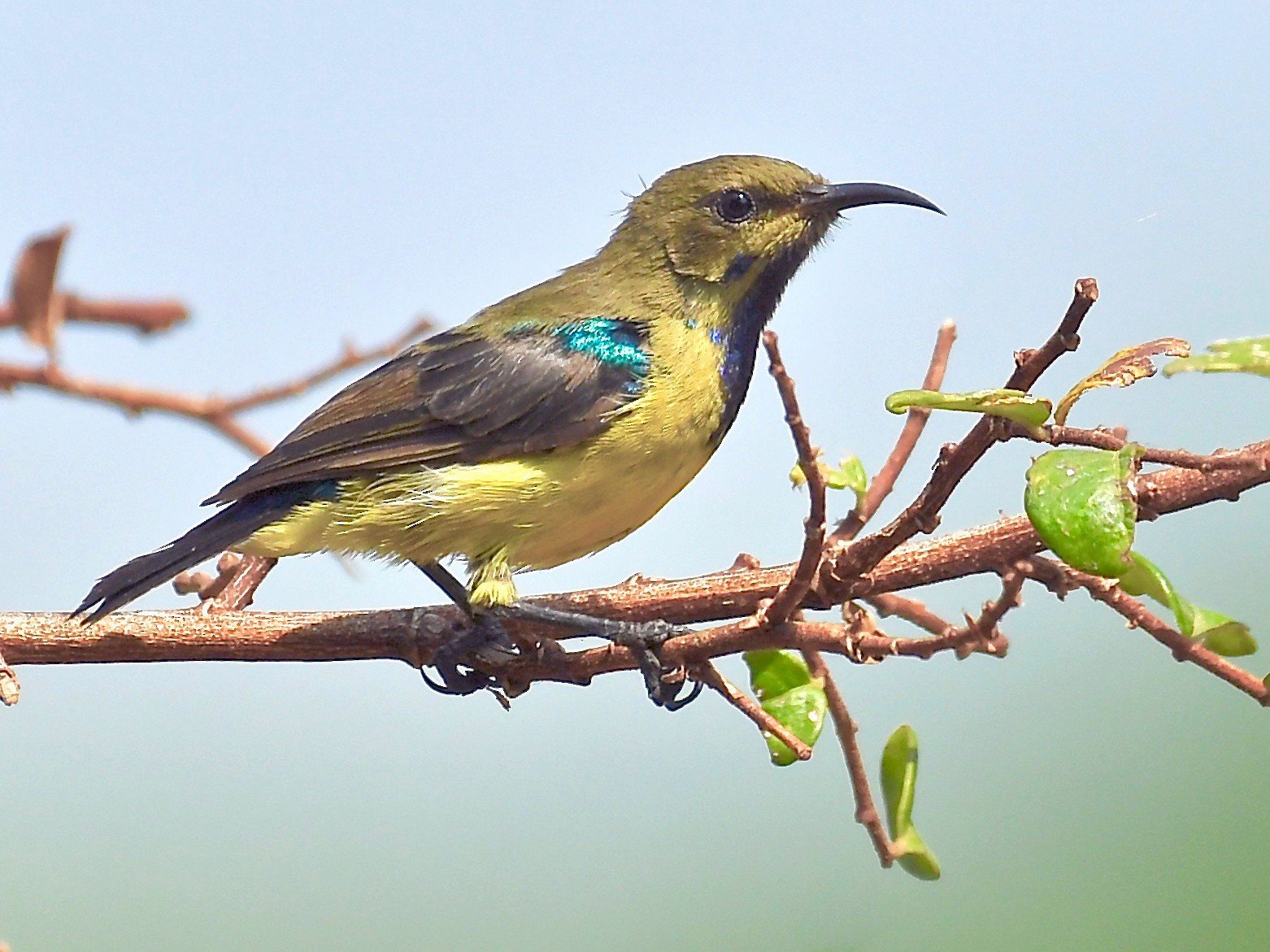 Variable Sunbird - Theresa Bucher