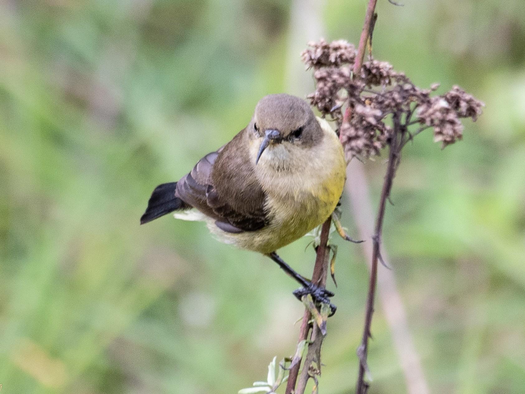 Variable Sunbird - T I