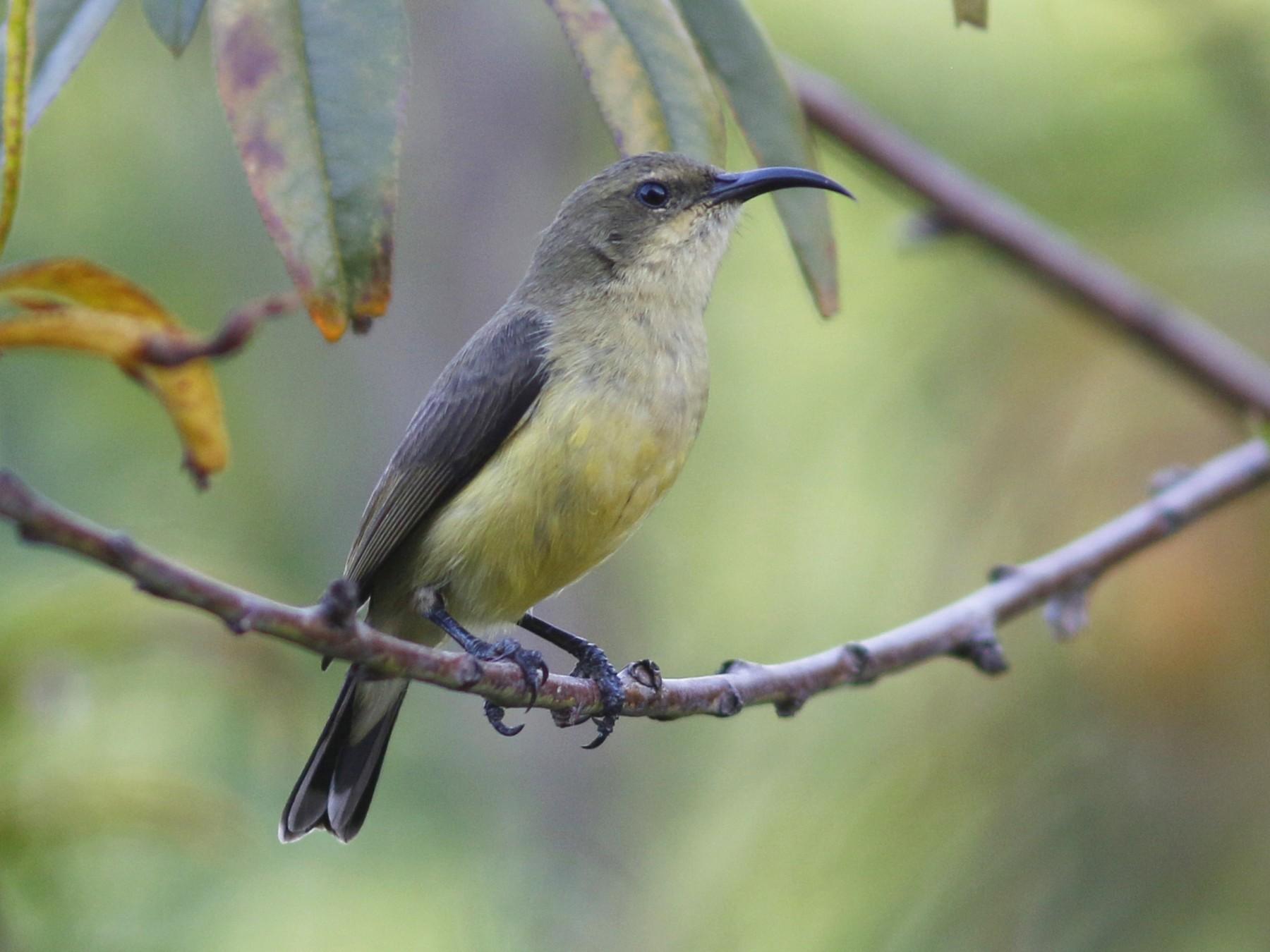 Variable Sunbird - John Sullivan