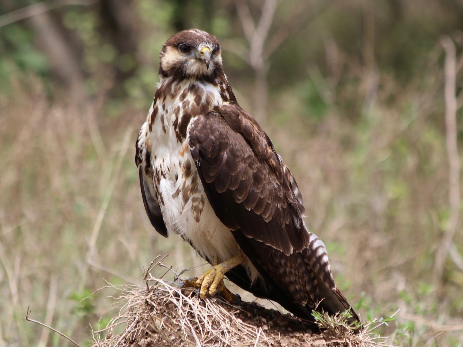 Augur Buzzard - David Guarnieri