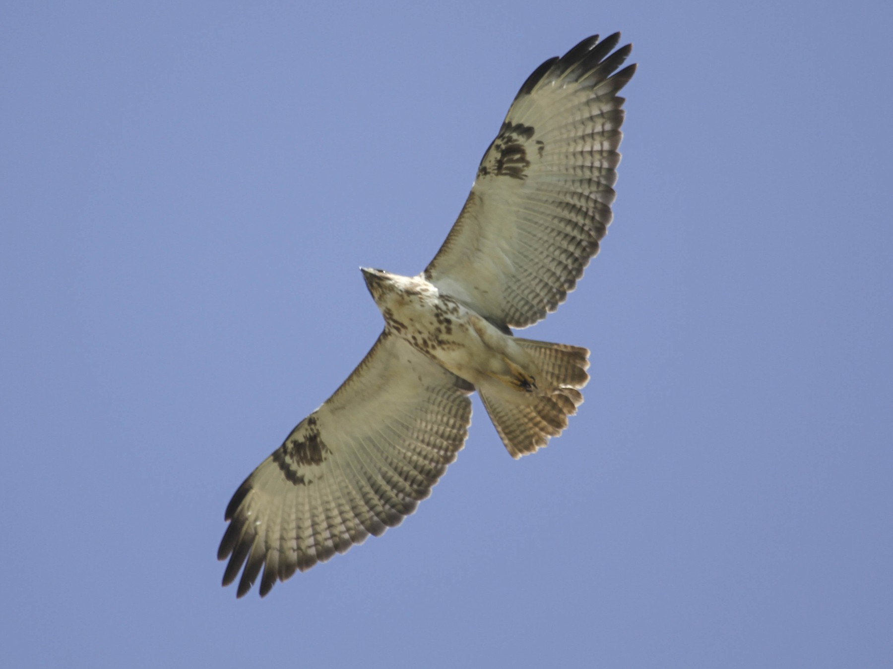 Augur Buzzard - Evan Buechley