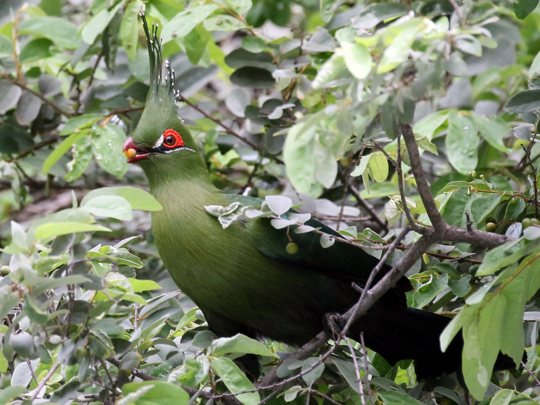 Schalow's Turaco - Charlotte Byers