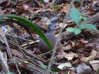 Little Tinamou, ML224580481
