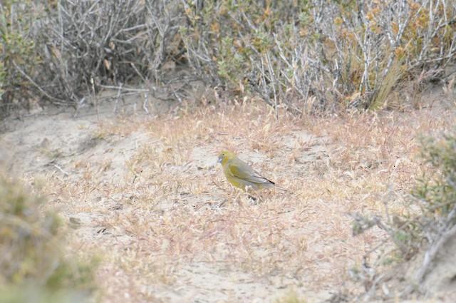 Grassland Yellow-Finch
