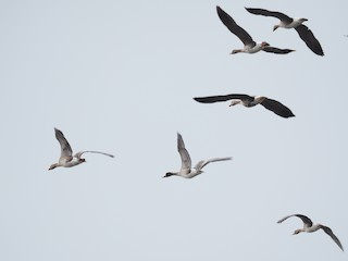 Greater White-fronted Goose, ML224828801