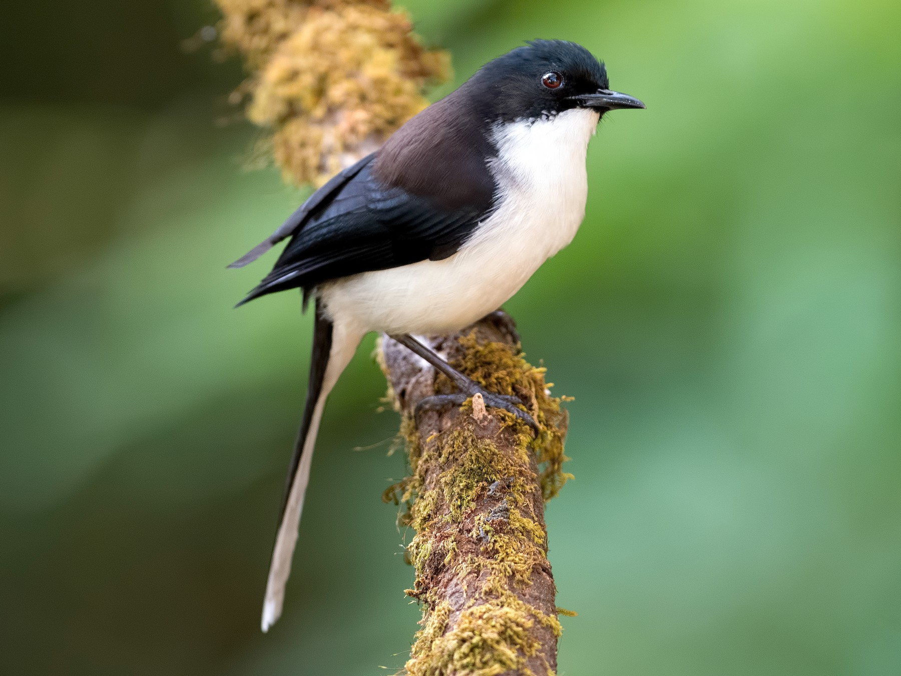Black-backed Sibia - Shailesh Pinto