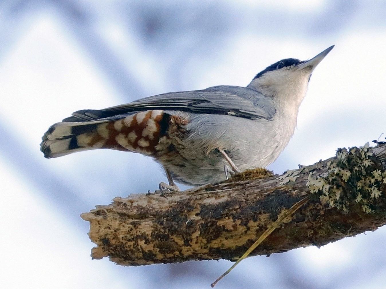 Giant Nuthatch - Jeanne Verhulst
