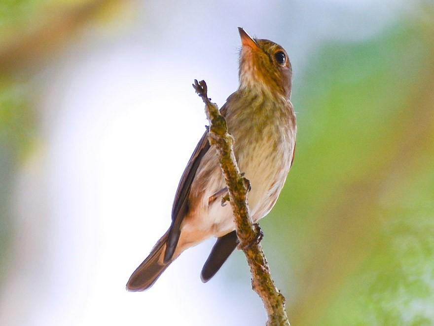 Brown-streaked Flycatcher - Harn Sheng Khor