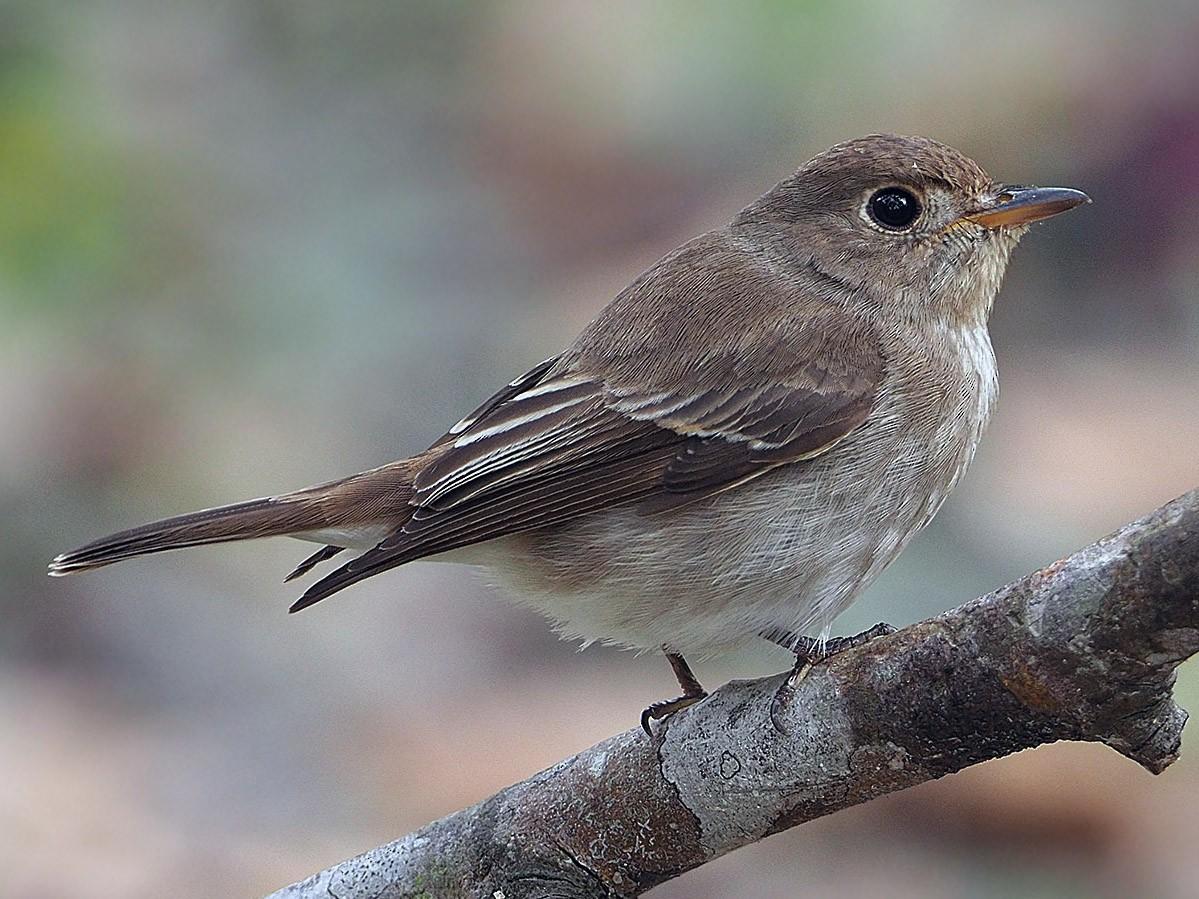 Brown-streaked Flycatcher - James Eaton