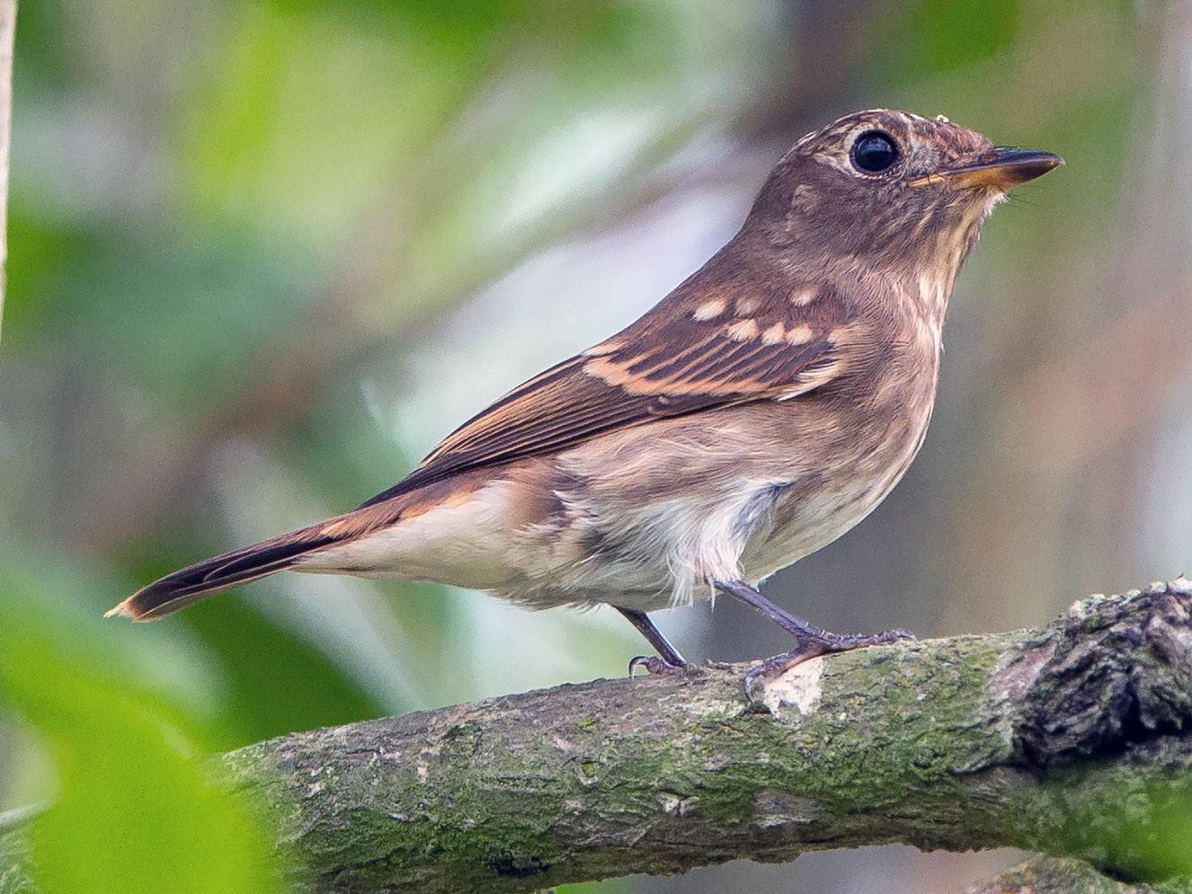 Brown-streaked Flycatcher - Adrian Silas Tay