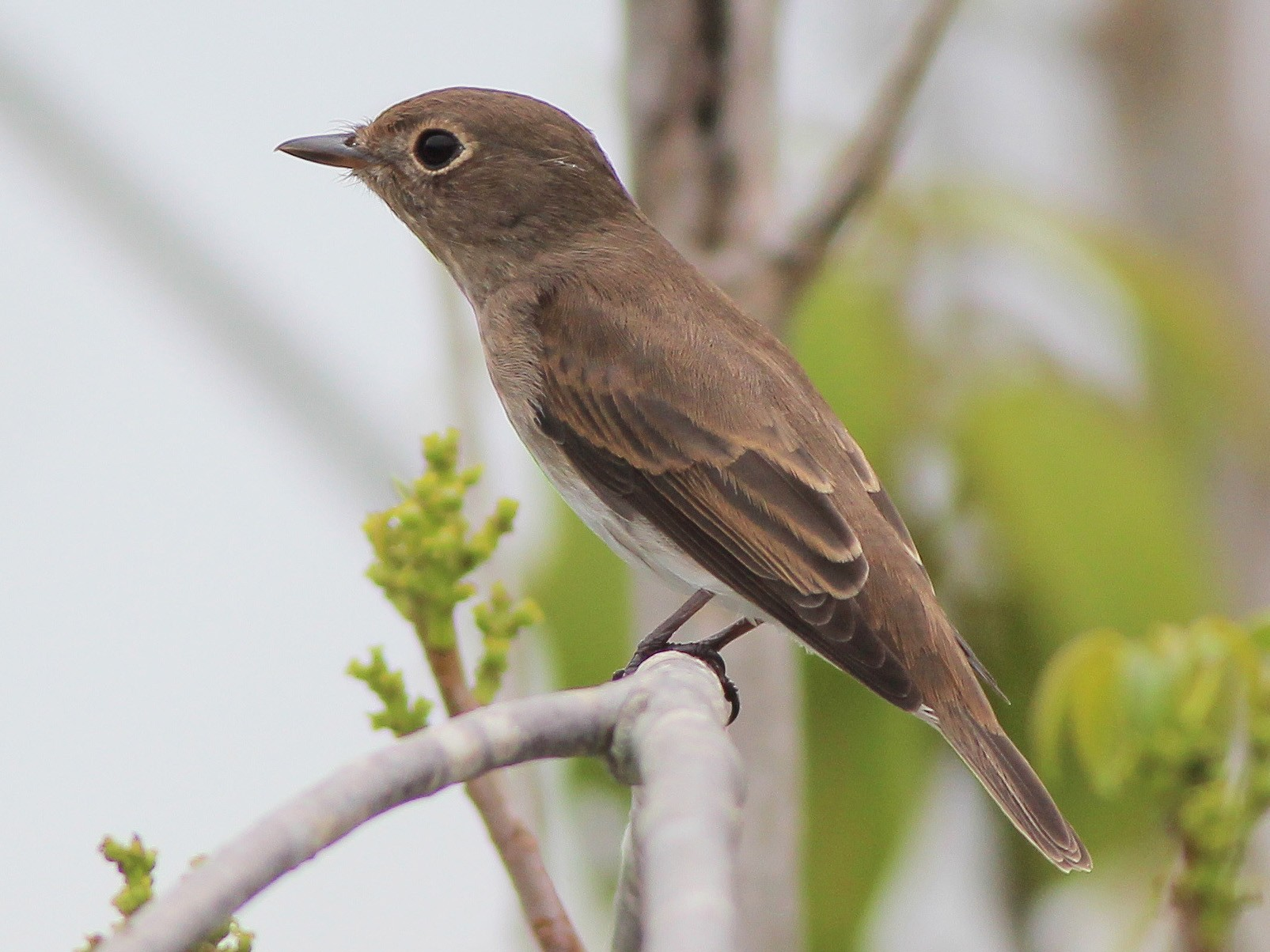 Brown-streaked Flycatcher - Neoh Hor Kee