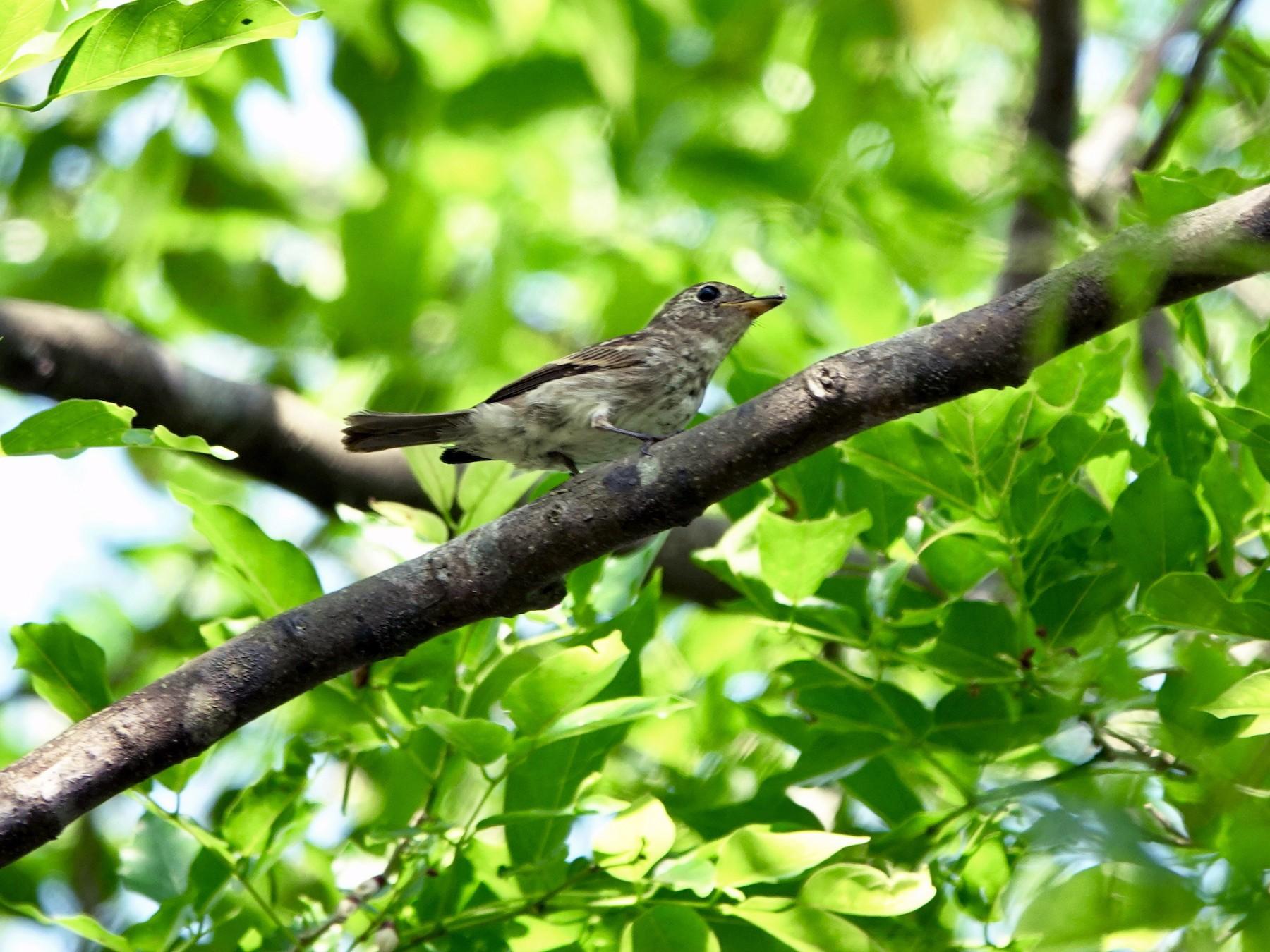Brown-streaked Flycatcher - Ramesh T