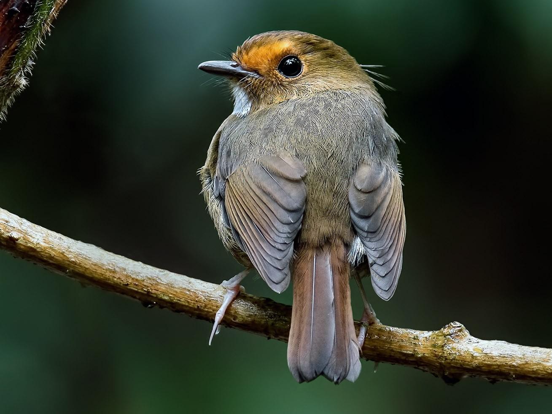 Rufous-browed Flycatcher - Zhong Ying Koay