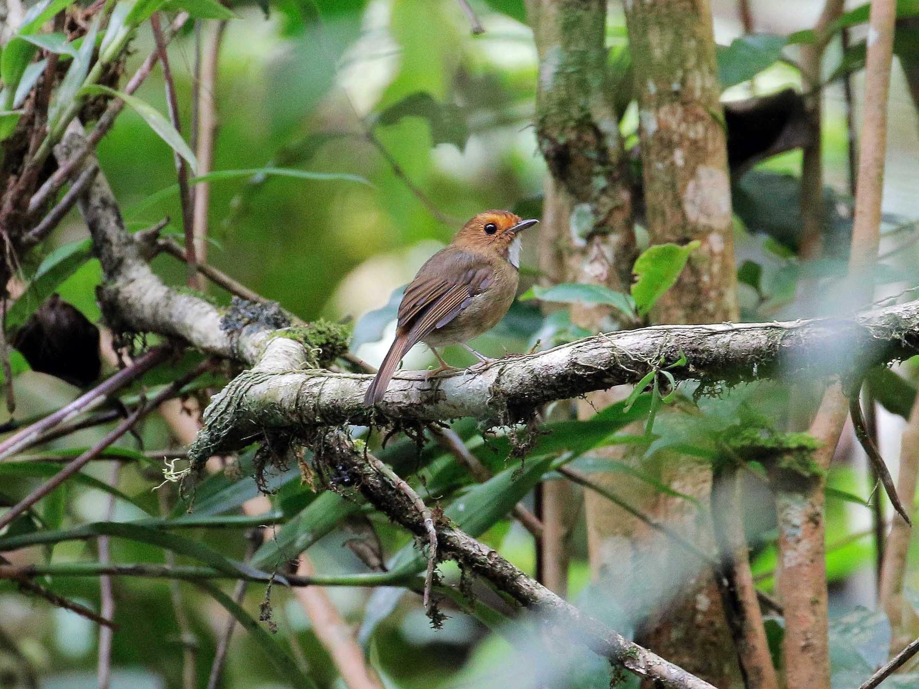 Rufous-browed Flycatcher - Neoh Hor Kee