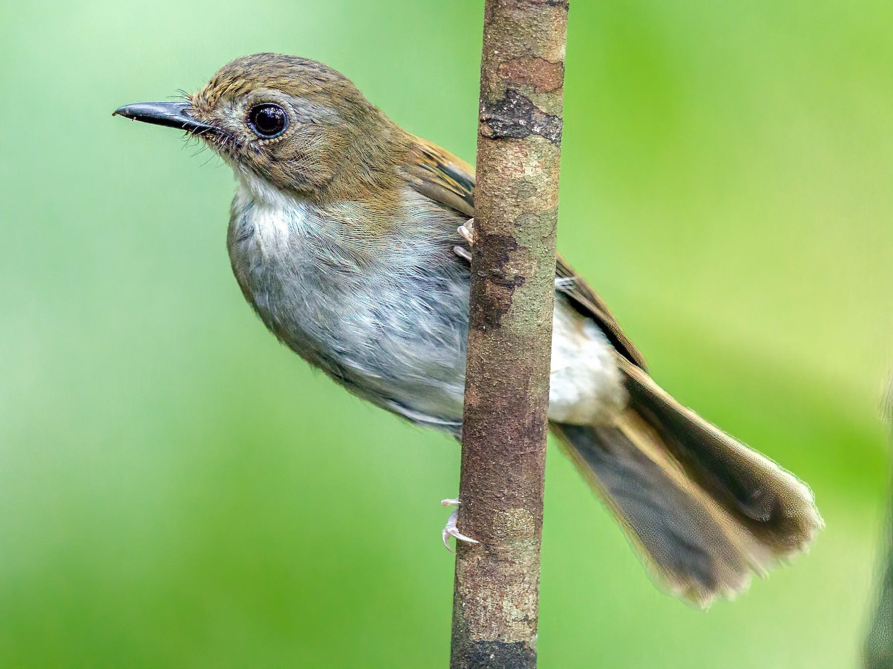 Gray-chested Jungle-Flycatcher - Saravanan Krishnamurthy