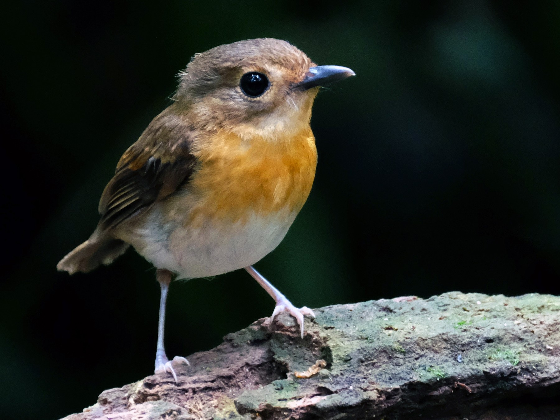 Rufous-chested Flycatcher - lim ying hien