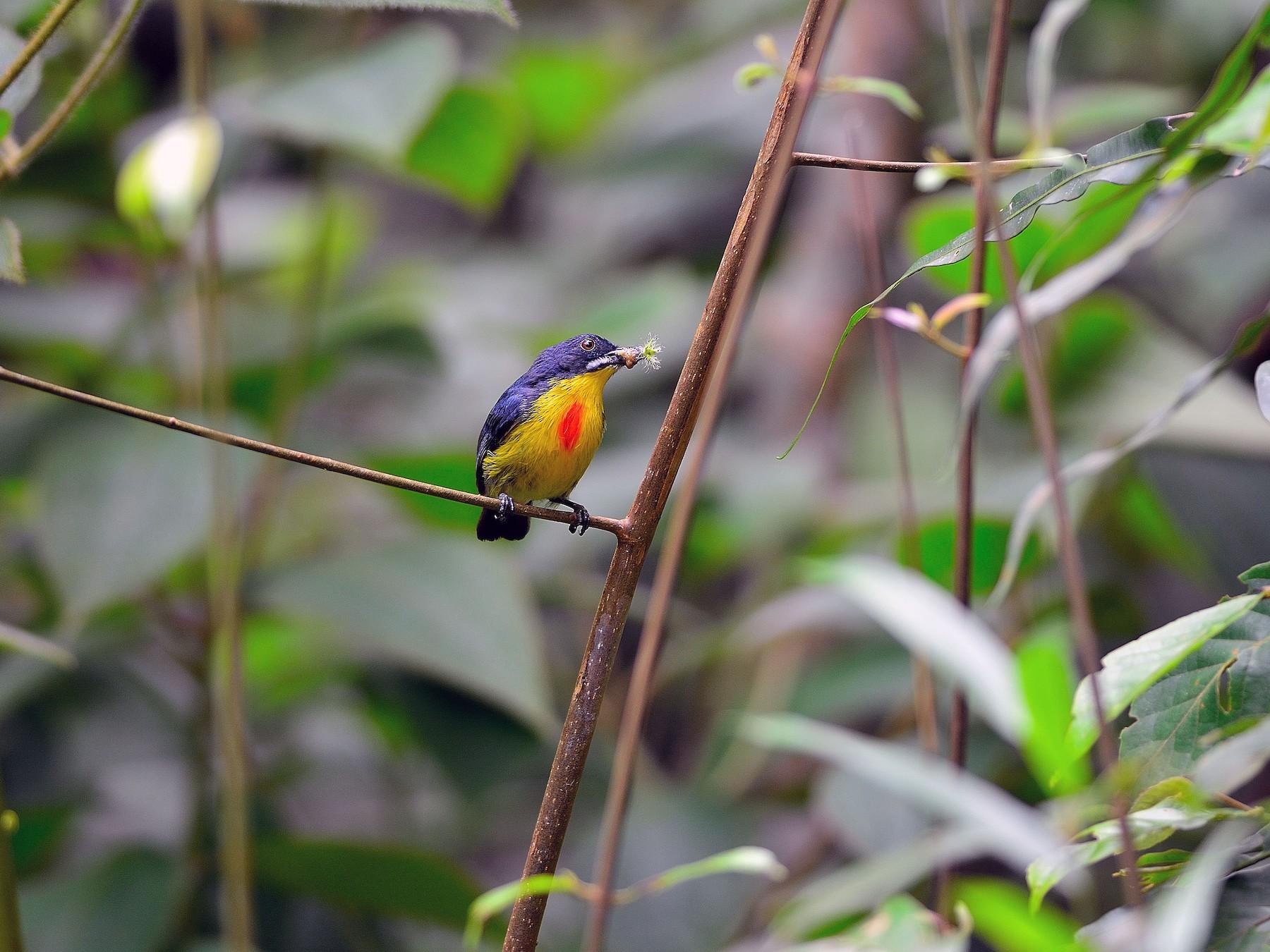 Crimson-breasted Flowerpecker - Wbird Tsai