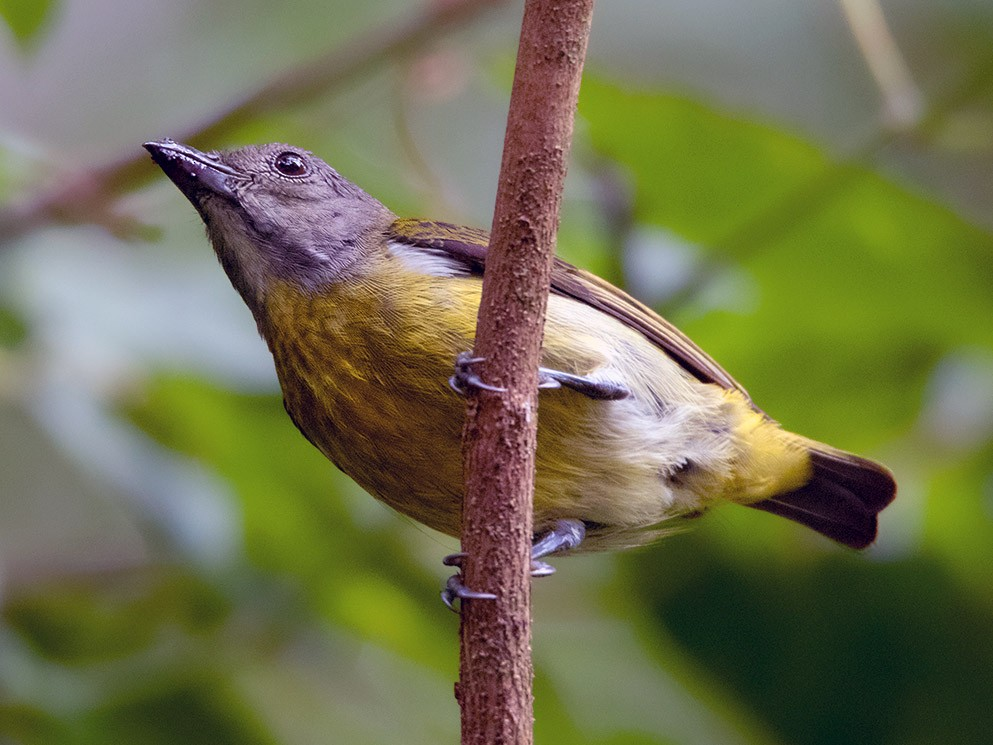 Scarlet-breasted Flowerpecker - Ayuwat Jearwattanakanok