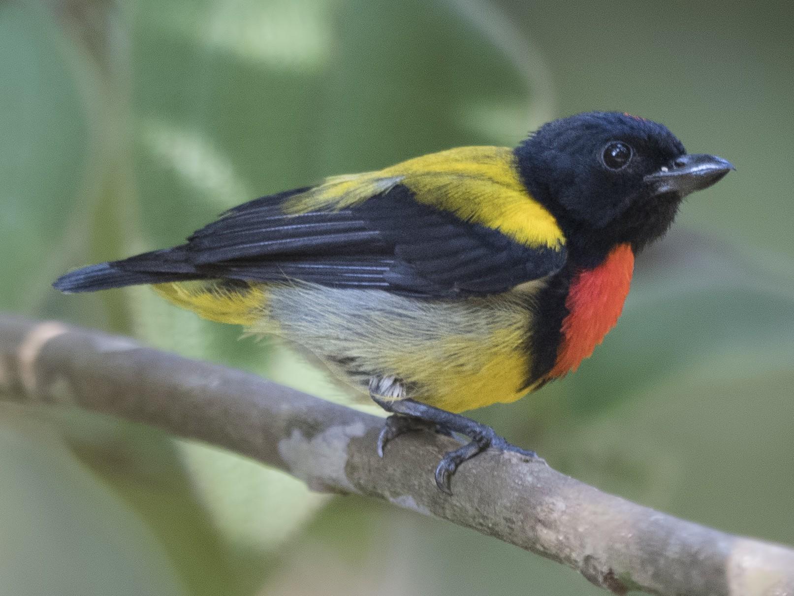 Scarlet-breasted Flowerpecker - Wai Loon Wong