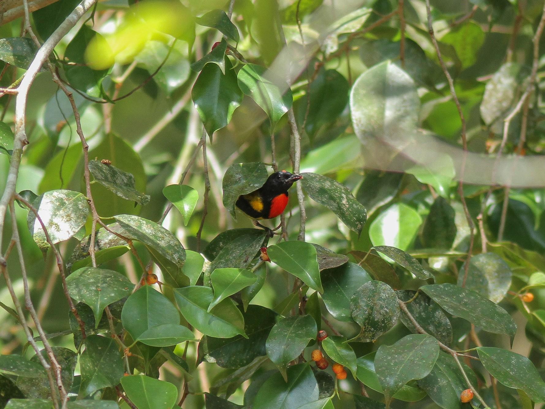 Scarlet-breasted Flowerpecker - Wich'yanan Limparungpatthanakij