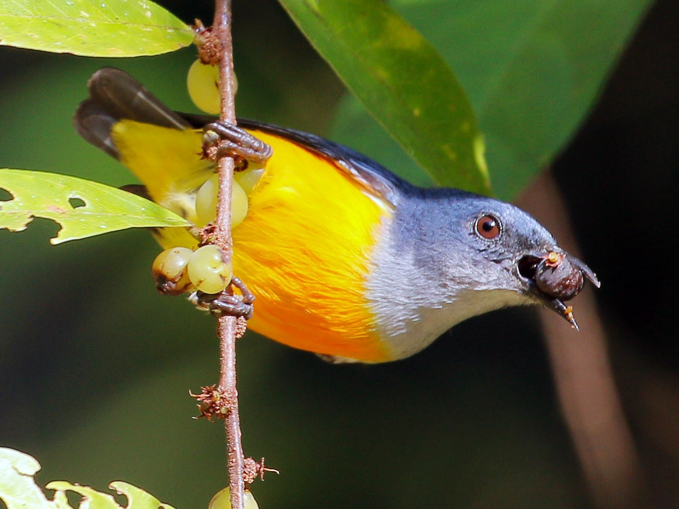 Orange-bellied Flowerpecker - Neoh Hor Kee