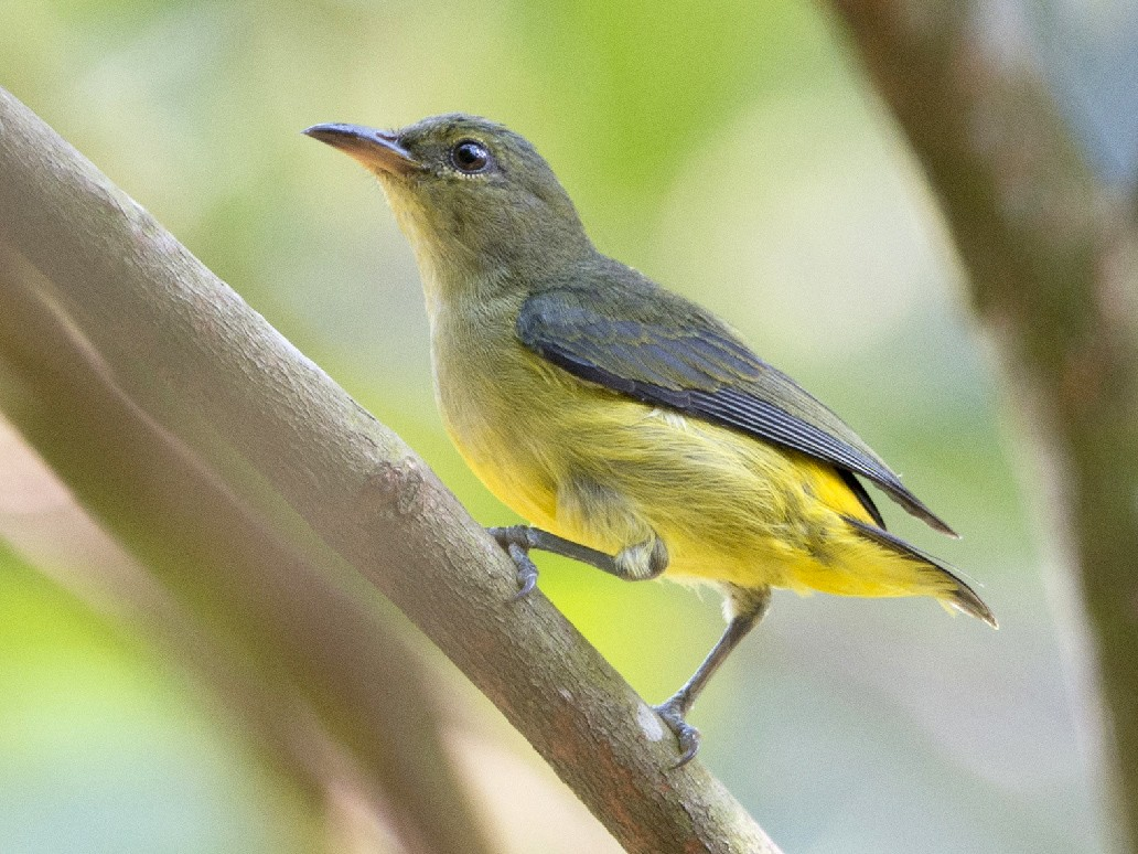 Orange-bellied Flowerpecker - Thierry NOGARO